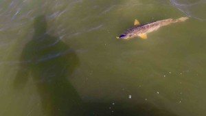 redfish-fly-fishing-laguna-madre