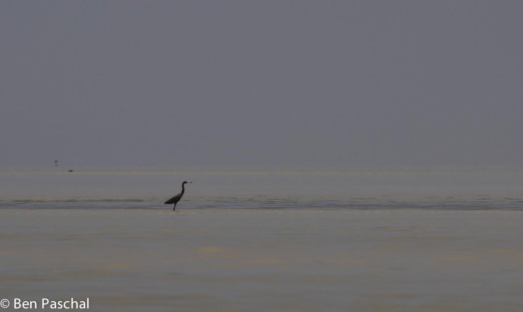 reddish egret, laguna madre