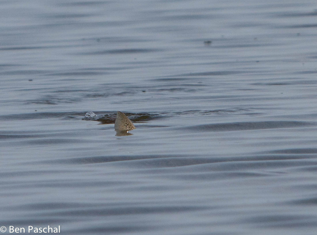 tailing trout