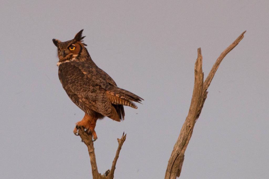 louisiana owl