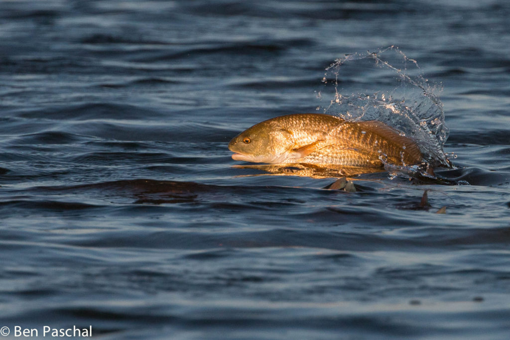 jumping-redfish-watermark
