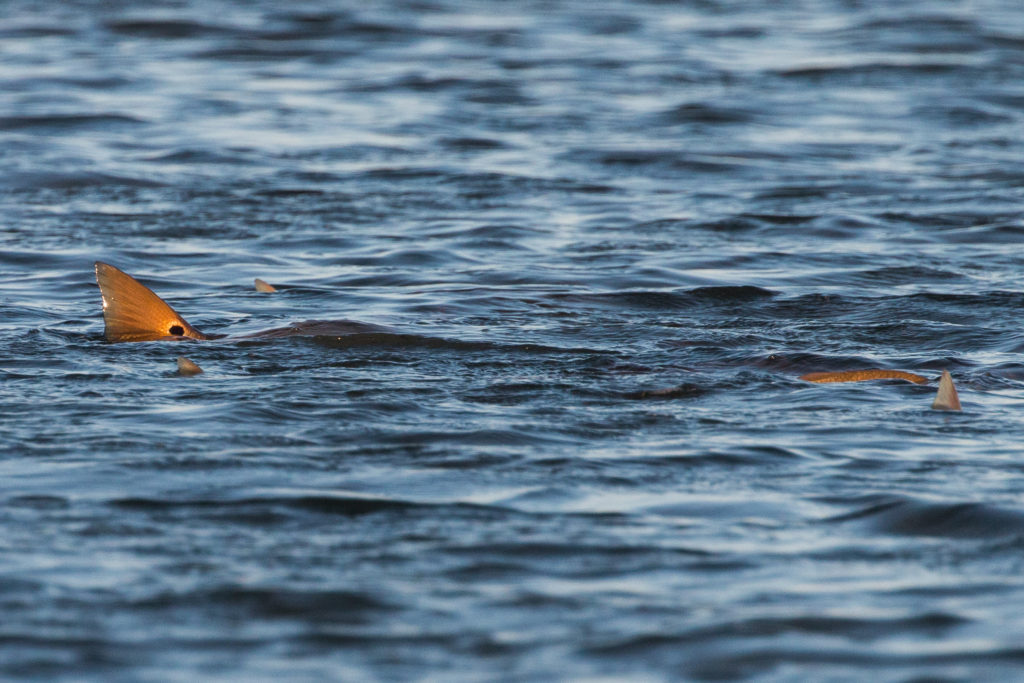tailing redfish texas coast