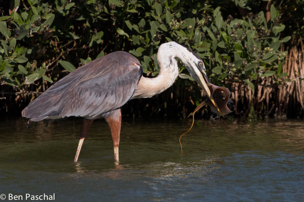 great blue heron eating stingray