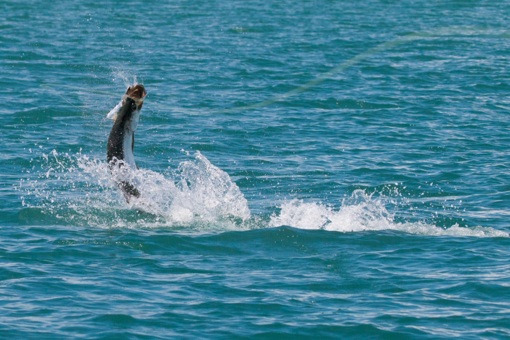 tarpon-jumping-1-of-1