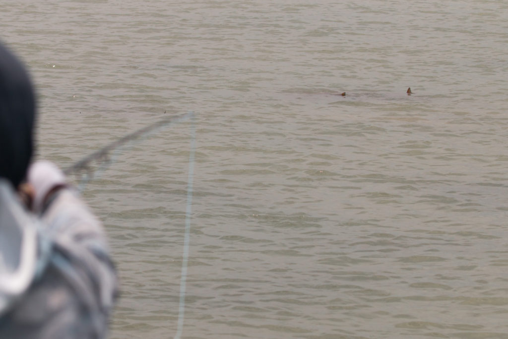 tailing redfish