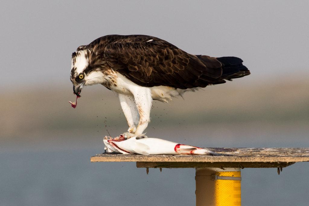 osprey laguna madre