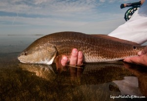 redfish reflection
