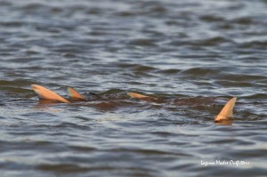 tailing redfish FFT